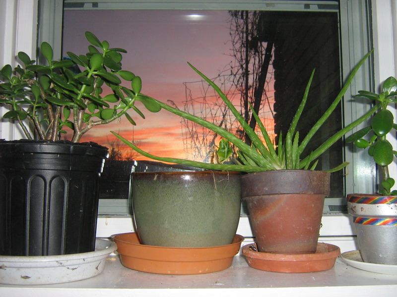 Jade Plant and Aloe