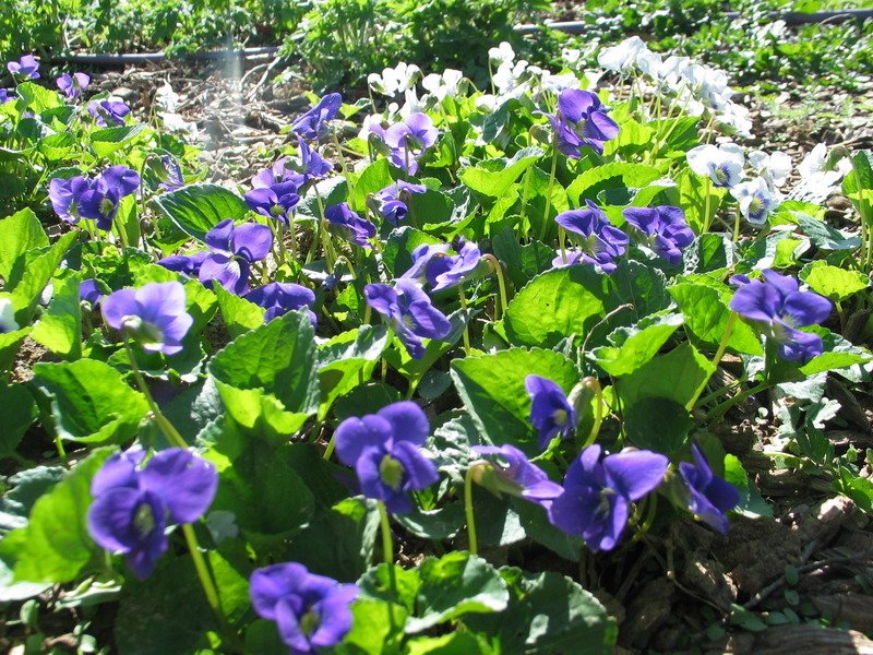 Violets at Warren Wilson College