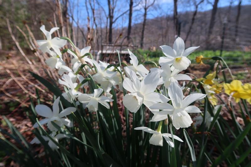 Daffodils in Spring 3.31.18