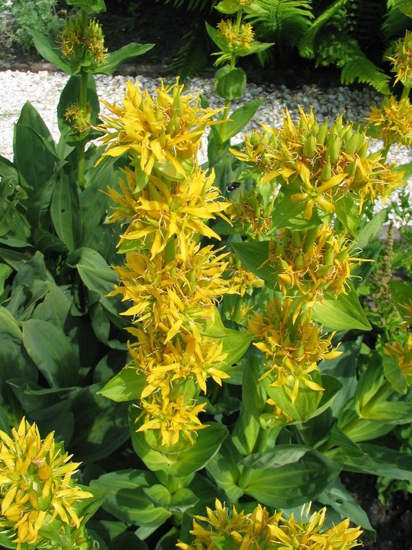 Yellow Gentian (Gentiana lutea)